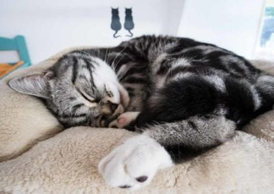Kattenpension-Silvestris-slapende-kat